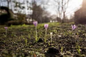 Crocuses in Lyle Park