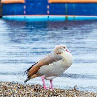 Ducks in the Royal Docks