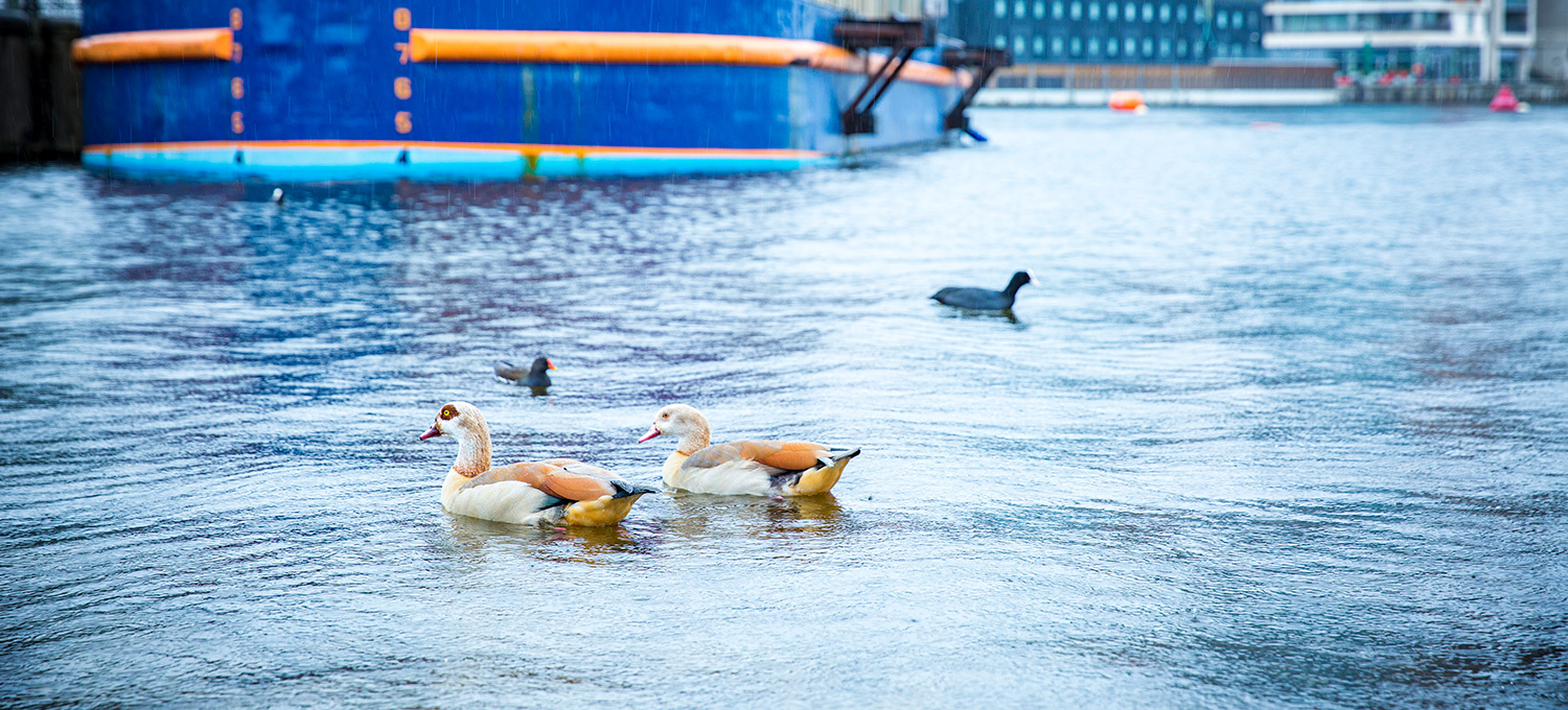 The Royal Docks ducks swimming in the water