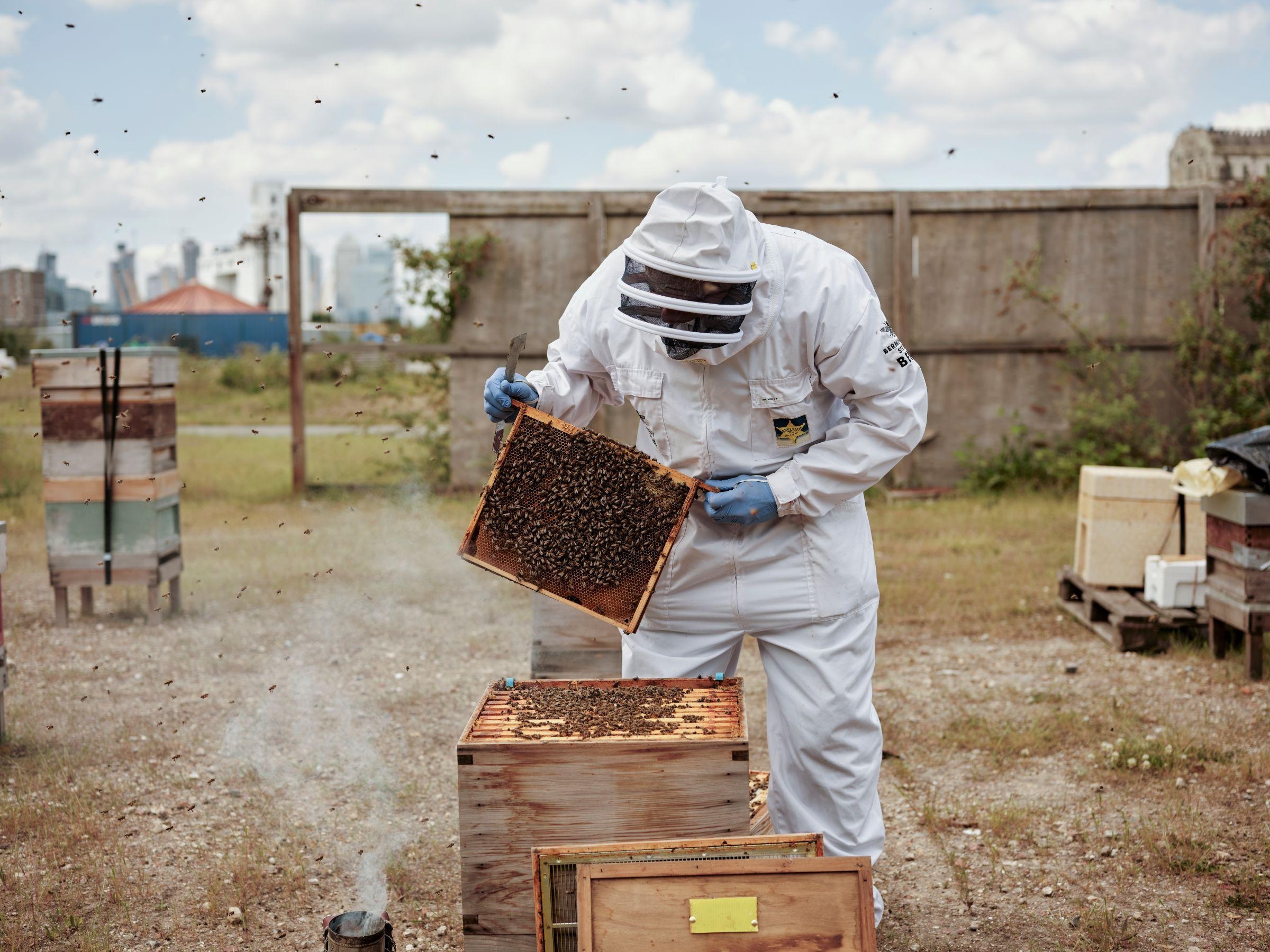 A beekeeper lifting a panel full of bees