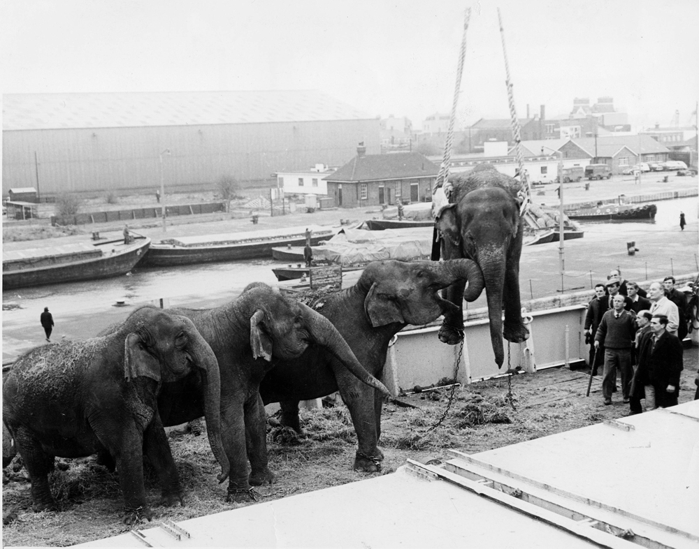 Elephants being lifted by winch