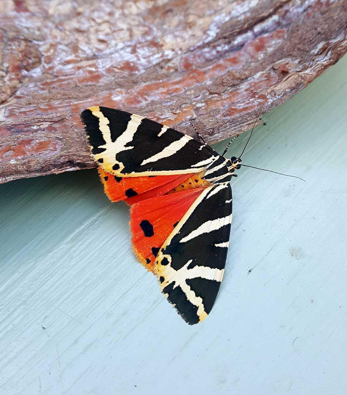 A Jersey Tiger Moth
