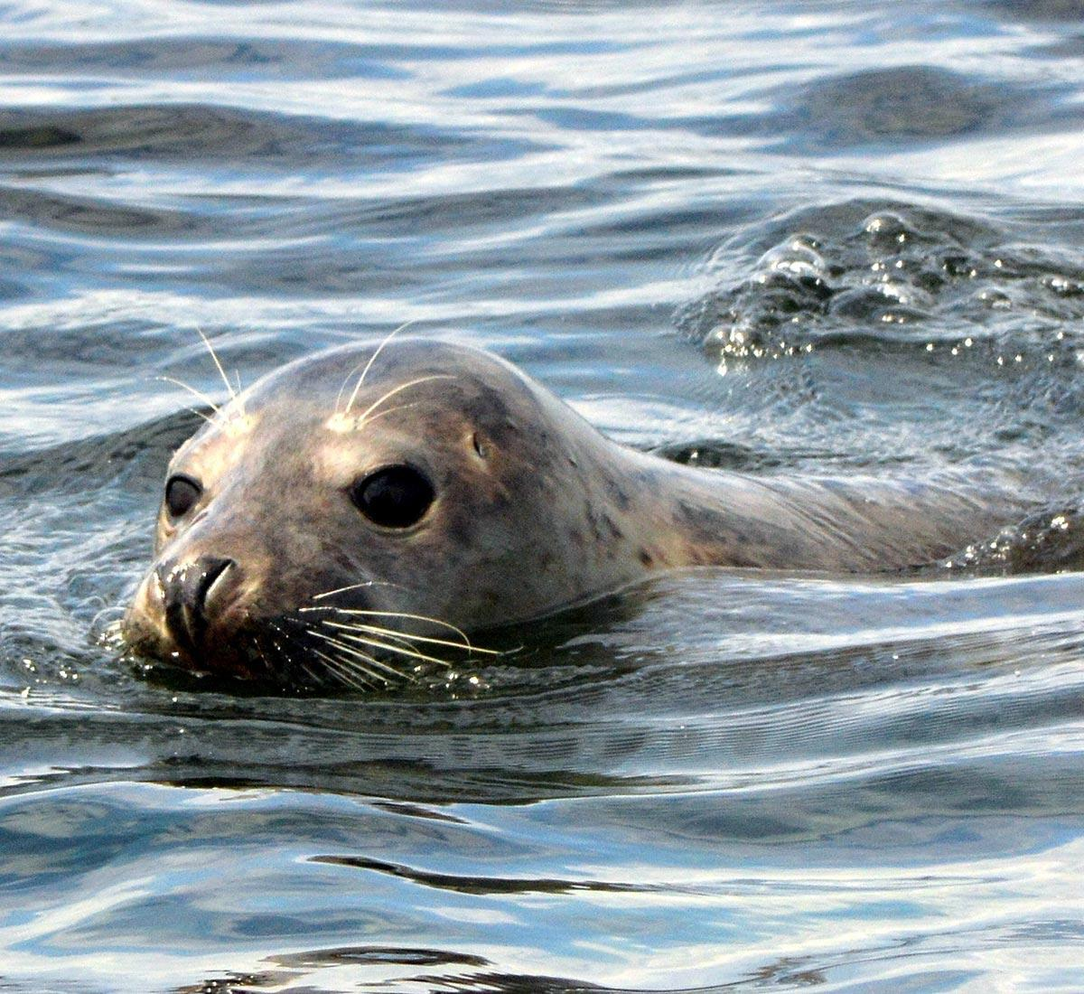 A new grey seal in the river Thames